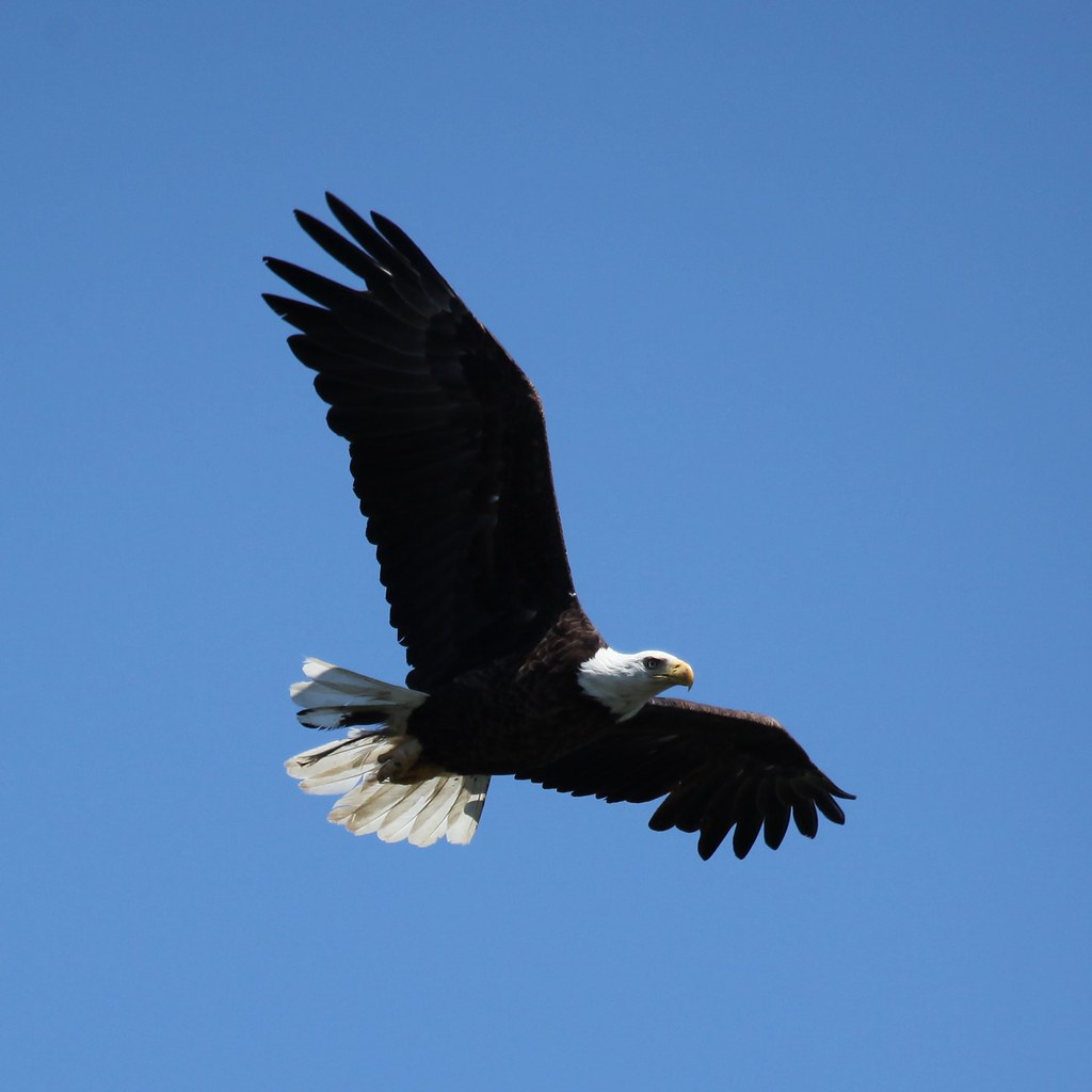 Bald Eagle soaring over Lake Nipissing