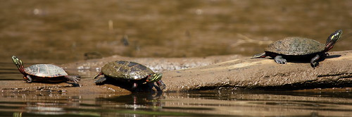 Turtles Basking on the Anacostia
