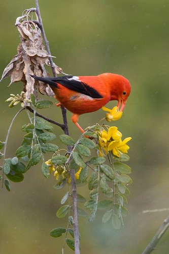 An Iiwi enjoys nectar from the mamane.
