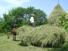 lungul drum al fânului spre iesle/long journey of hay to the manger
