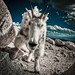 Colorado Mountain Goat (Charge) by Geoff Ridenour