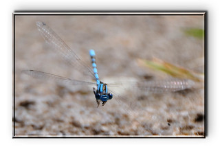 DAMSEL FLY IN FLIGHT