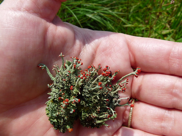 Cladonia cristatella (British soldiers), one of many species of lichen found in the Pine Barrens. Photo by Lauren Deutsch.