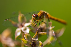 wasp(0.0), nectar(0.0), arthropod(1.0), animal(1.0), damselfly(1.0), dragonfly(1.0), dragonflies and damseflies(1.0), flower(1.0), nature(1.0), invertebrate(1.0), macro photography(1.0), membrane-winged insect(1.0), fauna(1.0), close-up(1.0), plant stem(1.0), pest(1.0),