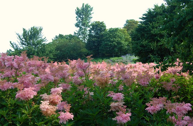 "Chicago Botanic Garden - Filipendula Rubra ""Venusta"" (Queen of the Prairie) on Evening Island"