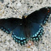 Red-spotted Admiral - Photo (c) khemeon, all rights reserved