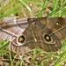 Small photo of Mopane Moth (Imbrasia belina)