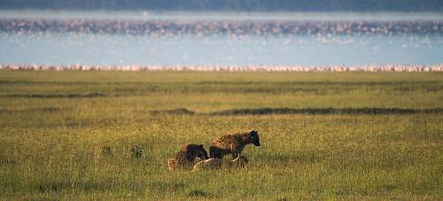 tiere kenya ken nakuru ort hyäne raubtiere ereignis lakeviewestate kenyazanzibar2007 hyã¤ne