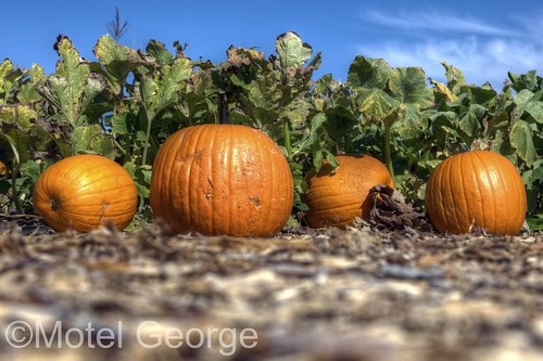Gilcrease Orchard Pumpkins