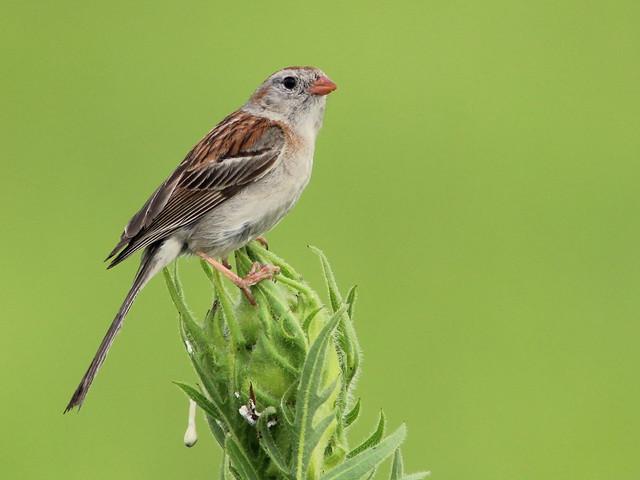 Field Sparrow 20110707