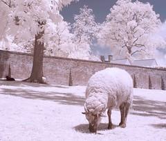 Washington's Sheep