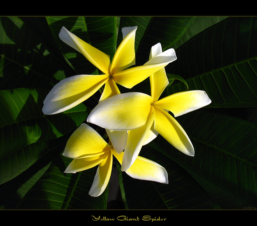 Rare Flowers The Plumeria Yellow Giant Spider A Photo On Flickriver