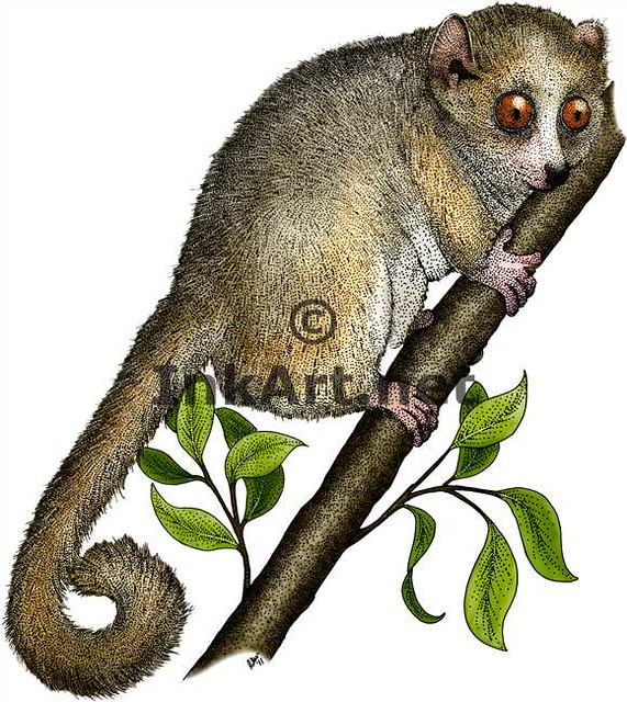 How to draw mouse lemur