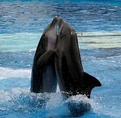 animal, marine mammal, sea, ocean, common bottlenose dolphin, marine biology, short-beaked common dolphin, dolphin,