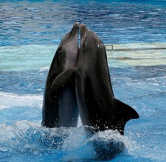 whale(0.0), killer whale(0.0), grey whale(0.0), tucuxi(0.0), animal(1.0), marine mammal(1.0), sea(1.0), ocean(1.0), common bottlenose dolphin(1.0), marine biology(1.0), short-beaked common dolphin(1.0), dolphin(1.0),