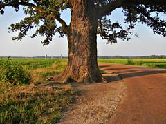 Great Burr Oak