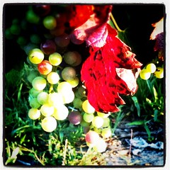 Grapes - Photo of Courpignac