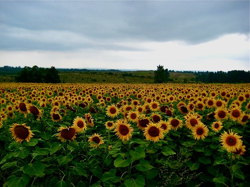 Sunflowers, second only to Wheat in frequency