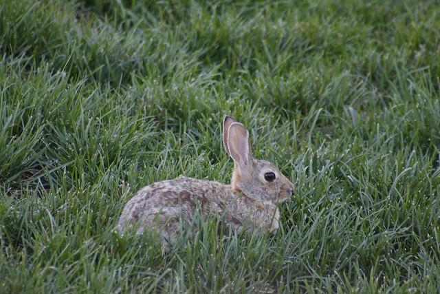 Rabbit in Backyard | Flickr - Photo Sharing!