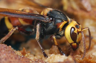 Asian Giant Hornet (Vespa mandarinia)