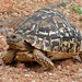 Leopard Tortoise - Photo (c) Bernard DUPONT, some rights reserved (CC BY-SA)