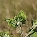 Small photo of Lesser burdock (Arctium minus)