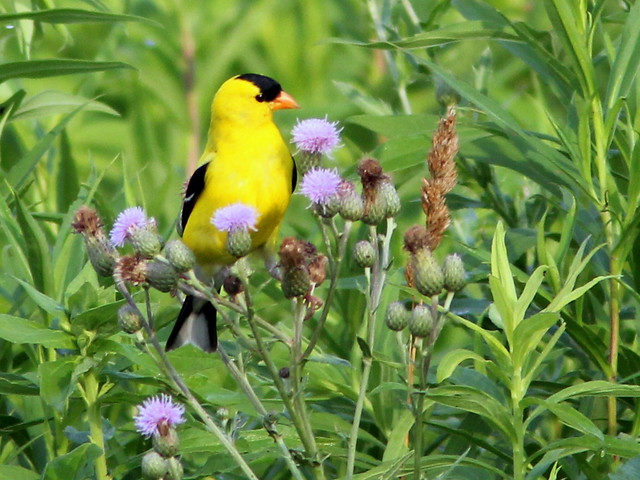 American Goldfinch (Carduelis tristis) and thistles 2-20110707