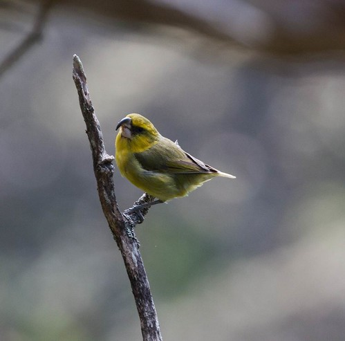 Parrotbill will use their bill to find insects in branches.