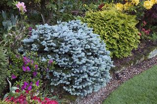 "Picea pungens ""Glauca Globosa"" - Dwarf Colorado spruce"