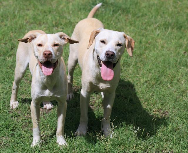 Craigslist Dogs Puppies