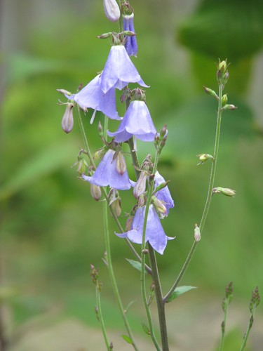 Adenophora liliifolia?