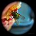 Macro Fly by Mandolina Moon