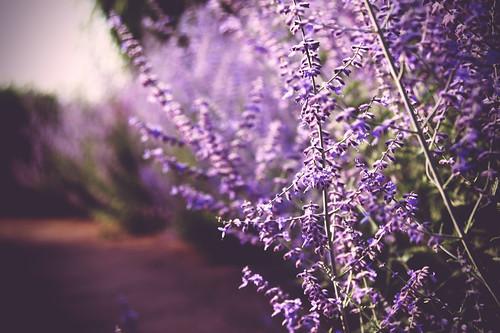 lavender time e3