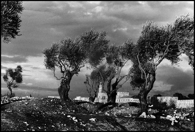 David's Tower and the Old City wall seen through and olive grove on the Israeli side, Jerusalem, 1957, by Burt Glinn