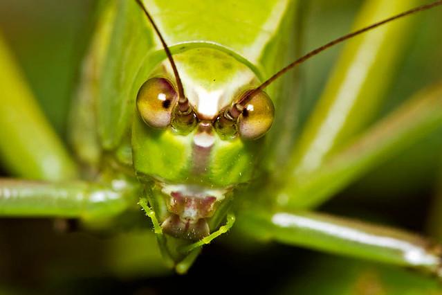 Giant katydids, | Giant katydids, Macrolyristes corporalis ...