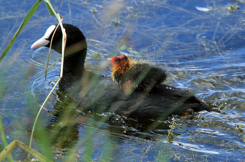 Coot and chick Fulica atra