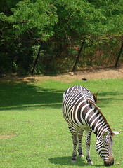 animal, zoo, zebra, mammal, grazing, fauna, jungle, safari, wildlife,