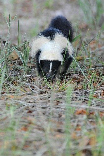 Skunk Encounter II