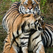 Bengal Tigress and cub