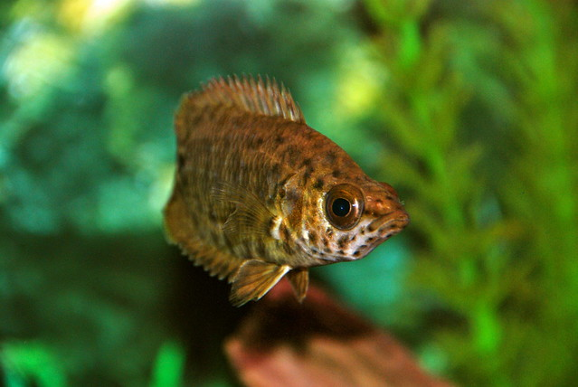 Leaf Fish : Spotted African Leaf Fish Flickr - Photo Sharing!