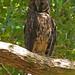 Stygian Owl, Cuba (A Kirkonell)