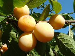 apricot(0.0), flower(0.0), plant(0.0), common persimmon(0.0), produce(0.0), food(0.0), loquat(0.0), tangelo(0.0), bitter orange(0.0), fruit tree(1.0), fruit(1.0),