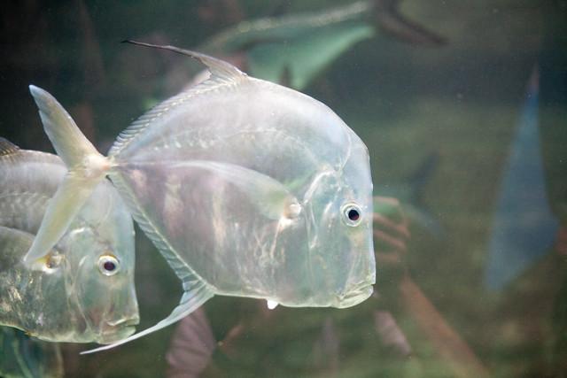 Les yeux des poissons 13 les aristo prout prout fin de for Poisson yeux miroir
