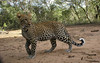 Camera trap photo of a leopard cub