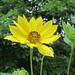 giant sunflower - Photo (c) Homer Edward Price, some rights reserved (CC BY)