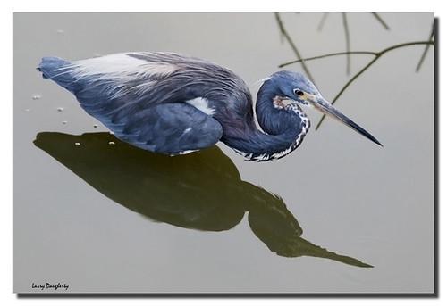 reflection heron louisiana tricolor tricoloredheron egrettatricolor wadingbird lafrenierepark d700 saariysqualitypictures mygearandme lafreniereparkimages metairieimages