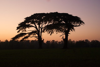 Cedar trees at sunset