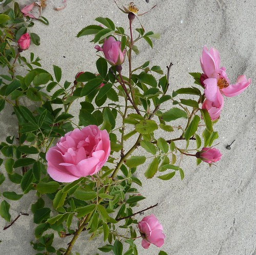 pink flowers plant beach nature rose estonia blossoms blooms parnu rosesforeveryone