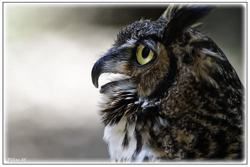 nikon owl wbs d300 worldbirdsanctuary 400mmf35nikkor ©copyright worldbirdsanctuarylovers