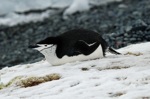 Chinstrap Penguin, Half Moon Island, Antarctic Peninsula by Terathopius